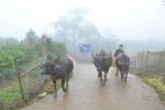 Nhiệt độ giảm mạnh, người Sa Pa sơ tán trâu bò tránh rét