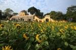 Ngắm vườn hoa mặt trời bừng nở trong nắng đông tại Hoàng Thành Thăng Long