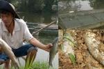 Dân Huế khóc ròng vì cá nuôi đến lúc bán lăn ra chết trắng lồng
