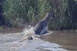 Clip: Linh dương thoát cú đớp chí mạng của cá sấu trong tích tắc