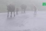 Trên 300 con gia súc chết trong đợt rét kỷ lục ở Lào Cai