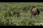 Vừa chào đời đã bị sư tử bắt, linh dương con đoàn tụ mẹ một cách khó tin