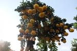 Ngắm cây bưởi hình ô lọng làm quà Tết giá 55 triệu đồng