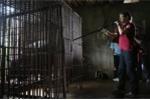 Xem bác sỹ nước ngoài thổi thuốc mê, giải cứu 2 chú gấu ngựa 'khủng' ở Thái Nguyên