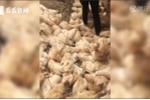 Clip: Bầy gà nằm chết la liệt do áp lực tiếng ồn từ chiếc trực thăng bay quá gần