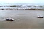 Cá, sò chết bất thường tại khu vực biển Vĩnh Tân