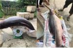 Xôn xao clip bắt được cá trắm khủng 61kg ở hồ Thác Bà