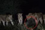 Clip: Nhím xù gai sắc nhọn, một mình đánh bại 7 sư tử