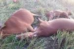Dây điện bị đứt sau bão số 10, 5 con bò bị điện giật chết