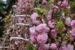 Video: 10.000 cành hoa anh đào 'bay' từ Nhật về Hà Nội