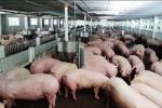 'Khủng hoảng' thịt lợn khiến tập đoàn Dabaco lỗ 33 tỷ đồng