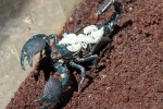 Thực hư thông tin nọc bọ cạp xanh chữa ung thư