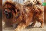Trung thành bậc nhất, vì sao chó ngao Tây Tạng vẫn cắn chủ?