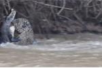 Cả gan cắn trộm báo đốm, cá sấu bị hạ sát nghiệt ngã