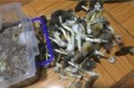 Nấm ma thuật - loại ma túy cực độc có trong nấm 'giết người' theo cách nào?