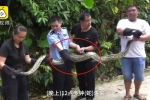 Clip: Mò vào chuồng xơi tái 3 con gà, trăn Miến Điện lĩnh trái đắng