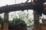 Cây sưa cổ thụ mua ở đình làng Đông Cốc nằm chỏng chơ xó nhà đại gia Bắc Ninh