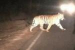 Hổ xuất hiện gần khu dân cư