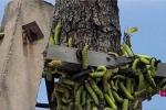 Video: Hàng ngàn sâu lạ to bằng ngón tay bò nhung nhúc trên đường ở Bình Dương