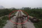 Clip: Khoảnh khắc tàu hỏa tông chết đàn trâu thả rông ở Thanh Hóa
