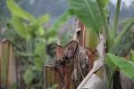 Giám đốc công ty thuê người triệt hạ hàng ngàn cây chuối: Có thể đối mặt với khung hình phạt cao hơn