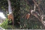 Cận cảnh trăn dài 2 mét treo lủng lẳng trên cây nuốt mồi