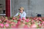 Bình Thuận quản chặt thương nhân nước ngoài núp bóng mua thanh long trái phép