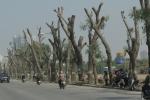 Ảnh: Hàng xà cừ cổ thụ trơ trụi cành lá trên đường Phạm Văn Đồng