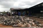 Chập điện, đàn heo hơn 1.200 con bị chết cháy