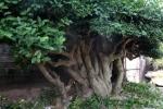 Video: Chiêm ngưỡng 'siêu cây' duối 300 năm tuổi được gạ đổi lấy xe Camry tiền tỷ