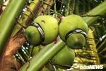 Lão nông miền Tây 'nặn' dừa hồ lô giá 200.000 đồng/quả cháy hàng dịp Tết