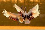 Video: Ngắm con sếu tuyệt đẹp có nguy cơ tuyệt chủng của Nhật ngay tại Hà Nội