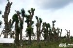 Ảnh: Hàng cây cổ thụ trên đường Kim Mã được dịch chuyển giờ ra sao?