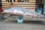 Video: Chiêm ngưỡng 'thủy quái' nặng hơn 1 tạ chuyển từ Campuchia về Hà Nội