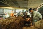 Thu năng lượng từ lõi ngô, giảm ô nhiễm môi trường