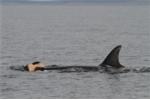 Cảm động cá voi mẹ không muốn rời xác cá voi con đã chết hai ngày