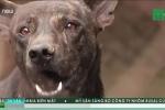 Chó ngao cắn chết chủ ở Hà Nội: Sát thủ máu lạnh mang tên chó nghìn đô