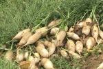Rau củ rớt giá thê thảm, nông dân phải đổ bỏ, Bộ Nông nghiệp yêu cầu kiểm tra