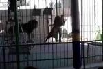 Đang biểu diễn, sư tử lao vào cắn huấn luyện viên