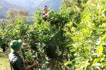 Video: Rừng chè shan tuyết cổ thụ hàng trăm năm tuổi ở Lào Cai