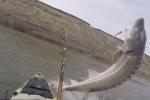 Clip: Cá khủng nặng 1,3 tạ tung mình quẫy đuôi, suýt làm lật thuyền cần thủ