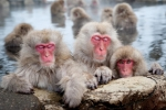 Bầy khỉ tuyết chiếm suối nước nóng ở Nhật Bản