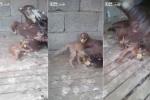 Clip: Rình trộm gà, cáo bị đại bàng kẹp cổ không ngóc đầu lên được