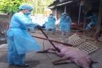 Xuất hiện ổ bệnh dịch tả heo châu Phi đầu tiên ở TP.HCM