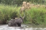 Video: Sư tử lao xuống hồ vồ gọn linh dương