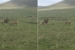 Video: Chó con nổi cáu, dọa cặp sư tử sợ khiếp vía
