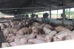 Đồng Nai phát hiện ổ dịch, TP.HCM khẩn cấp hành động với dịch tả lợn châu Phi