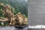 Hồ sơ nguồn gốc cây 'quái thú' nghi bị làm giả: Kiểm lâm Huế lên tiếng
