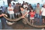 Clip: Cụ già 73 tuổi giết con trăn dài 3,9 mét
