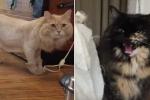 Chú mèo cạo lông bị 'bạn cùng phòng' hắt hủi và cái kết không tưởng